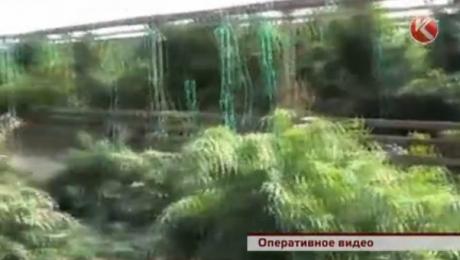 Агротехник из Южного Казахстана вырастил 504 куста конопли