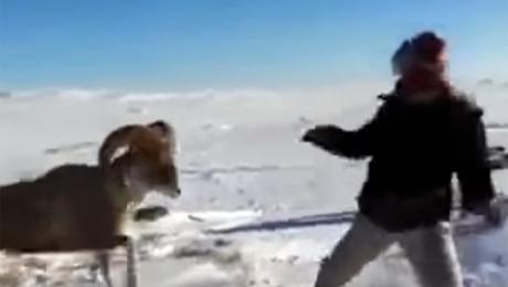 Казнет взбудоражил видеоролик, на котором храбрый архар отбивается от охотника с ружьем